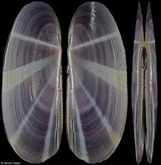 Siliqua radiata (Thailand, 53,9mm)