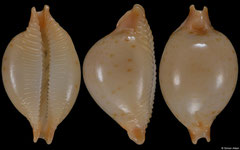 Cypraea margarita form 'africana' (Tanzania, 14,0mm)