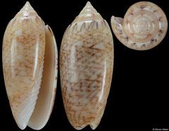 Americoliva bifasciata (Caribbean Panama, 43,0mm)