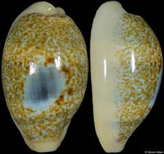 Cypraea errones 'blue window' form (Western Australia, 28,3mm) F+++ €105.00