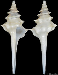 Columbarium formosissimum (South Africa, 35,3mm)