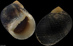 Nerita novaeguineae (Northern Territory, Australia, 23,4mm)