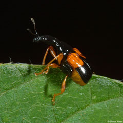 Weevil (Madagasocycnelus humeralis), Ambalavao, Madagascar