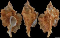 Ceratostoma fournieri (Japan, 39,5mm)