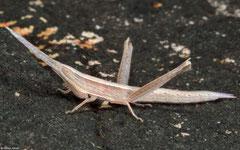 Grasshopper (Atractomorpha psittacina) nymph, Bokor Mountain, Cambodia