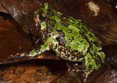 Narrow-mouthed frog (Scaphiophryne marmorata), VOIMMA, Madagascar
