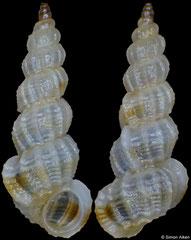 Gregorioiscala xanthotaenia (Philippines, 5,3mm)