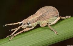 Weevil (Curculionoidea sp.), Chomthong, Bolikhamsai Province, Laos