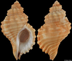 Cabestana tabulata (Western Australia, 59,1mm)