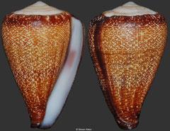 Conus evorai (Cape Verde, 28mm)