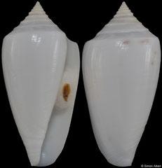 Conus victoriae (Western Australia, 39,0mm)