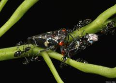 Gum-treehoppers (Eurymeloides sp.), Perth, Western Australia