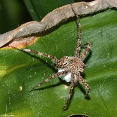 Nursery web spider (Pisauridae sp.), Andasibe, Madagascar