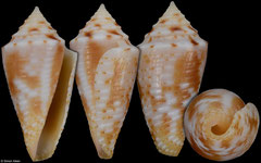 Conus marinae (Brazil, 19,1mm)
