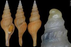 Comitas kirai (Philppines, 30,0mm)