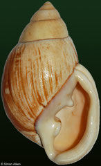 Placostylus submariei (New Caledonia, 62mm)