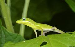 Hispaniolan green anole (Anolis chlorocyanus), Polo, Pedernales peninsula, Dominican Republic