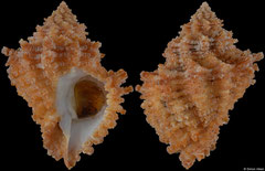 Babelomurex tectumsinensis (Canary Islands, 37,1mm)