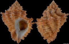 Babelomurex tectumsinensis (Canary Islands, 37,1mm)