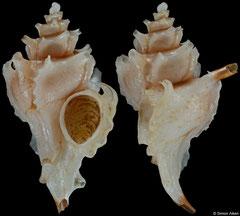 Monstrotyphis yatesi (Victoria, Australia, 15,9mm)