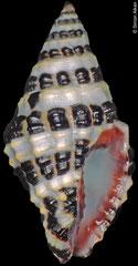 Engina carolinae (Solomon Islands, 16,2mm)