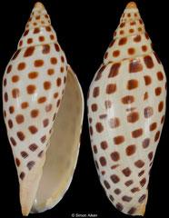 Scaphella junonia (Florida, USA, 98,0mm)