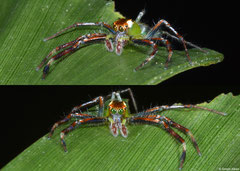 Jumping spider (Epeus sp.), Davao, Philippines