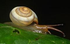 Suavitas leucoraphe (N of Polo, Dominican Republic)