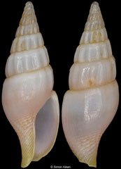 Suturoglypta blignautae (South Africa, 11,3mm)
