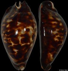 Cypraea friendii (Western Australia, 84,9mm)