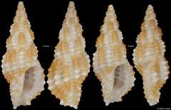 Pseudodaphnella fallax (Philippines, 6,2mm, 5,8mm) F+++ €6.00