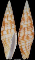 Imbricaria polycincta (Philippines, 25,0mm) F++ €45.00