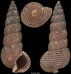 Liocerithium judithae (Pacific Mexico, 19,8mm)