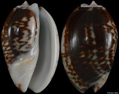 Oliva bulbosa form 'fabagina' (Madagascar, 36,5mm) F+++ €2.90