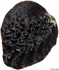 Lamprotula rochechouarti (China, 85mm)