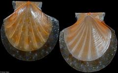 Propeamussium rubrotinctum (Philippines, 12,8mm)