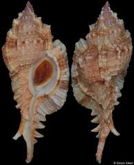 Naquetia barclayi (Philippines, 84,4mm)