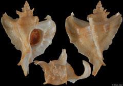 Ocinebrellus falcatus (Japan, 35,8mm)