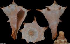 Tudivasum zanzibaricum (Tanzania, 47,2mm)