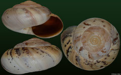 Kalidos chastelli (Madagascar, 27,9mm, 28,0mm, 27,1mm) F+/F++ €3.50 (specimens for sale are 27-29mm and are of the same quality as the specimens illustrated)