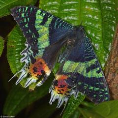 Madagascan sunset moth (Chrysiridia rhipheus), Mantadia, Madagascar