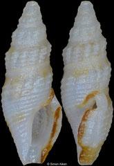 Otitoma oneili (Philippines, 6,7mm)