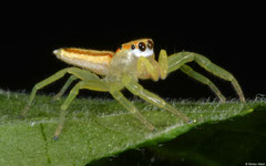 Jumping spider (Epocilla calcarata) (female), Balut Island, Philippines