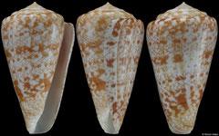 Conus royaikeni (South Africa, 59,2mm)