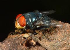 Blow-fly (Calliphoridae sp.), Broome, Western Australia