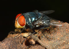 Blow-fly (Calliphoridae sp.), Broome, Western Australia
