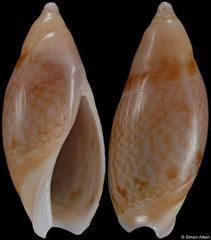 Amalda reevei (South Africa, 16,6mm)