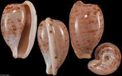 Cypraea edentula (South Africa, 18,7mm) F++ €4.50 (specimens for sale are 16-20mm and are of the same quality as the specimen illustrated)