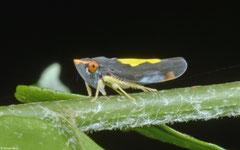 Leafhopper (Cicadellidae sp.), Balut Island, Philippines