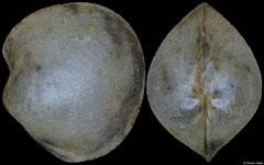 Policordia pilula (Philippines, 6,6mm)